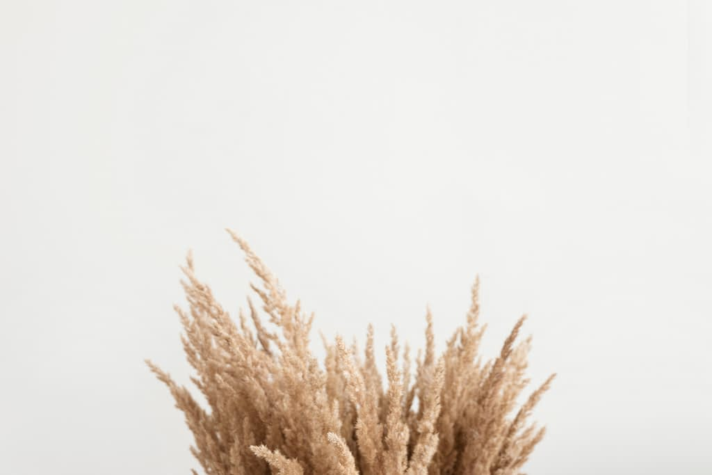 brown pampas grass on white background