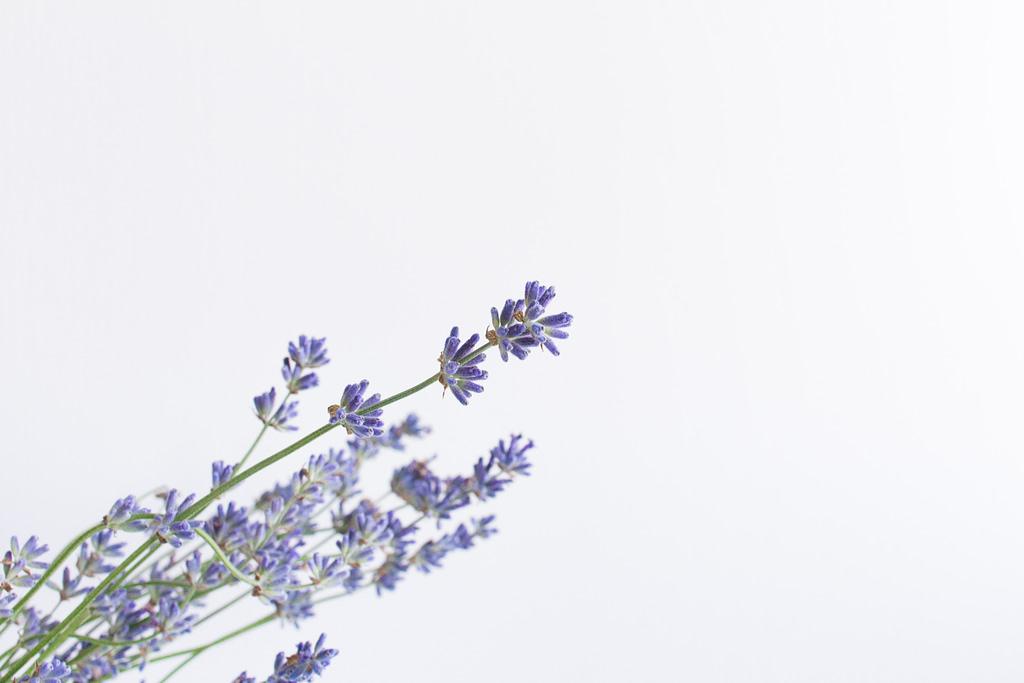 lavender plant  on white background